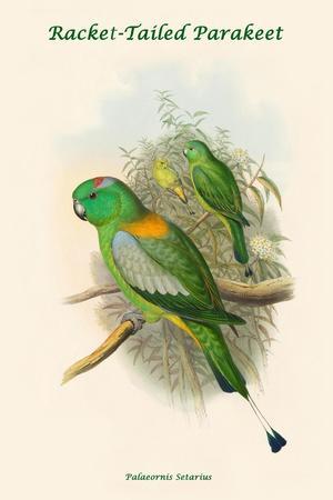 Palaeornis Setarius - Racket-Tailed Parakeet