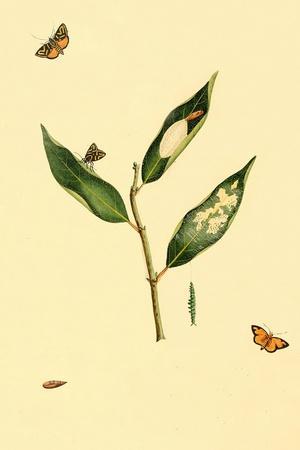 Surinam Butterflies, Moths and Caterpillars