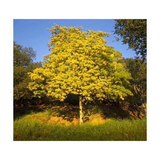 Acacia tree in bloom oakland ca yellow flowering tree acacia tree in bloom oakland ca yellow flowering tree mightylinksfo