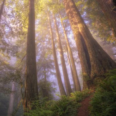 Misty Walk Into Del Norte Coast Redwoods (Square)