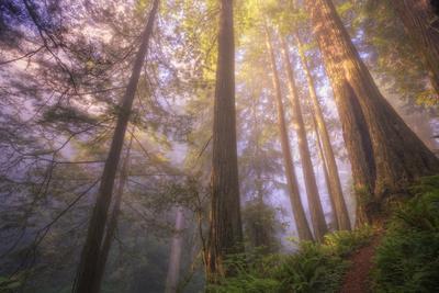 Misty Walk Into Del Norte Coast Redwoods