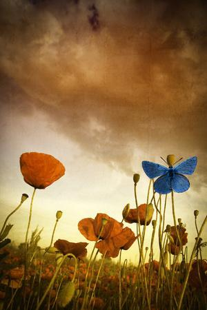 Poppies Dream