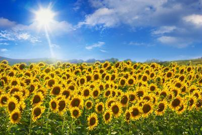 Sunflowers under Blue Sky and Shining Sun