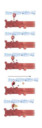 Illustration of Muscle Contraction