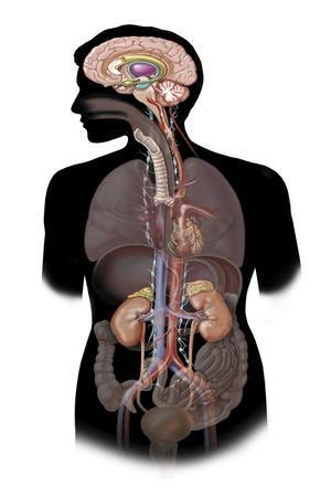 The Sympathetic Nervous System and the Organs of Fight-Or-Flight Response