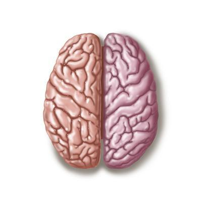 View of Human Brain from the Top
