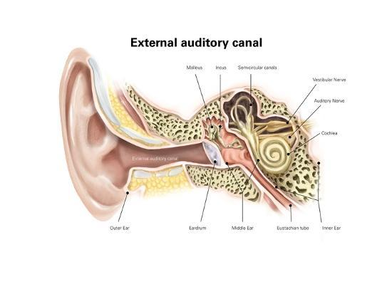 External Auditory Canal Of Human Ear With Labels Posters At AllPosters