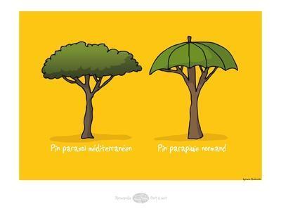 Heula. Pin Parapluie normand