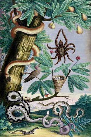 Spiders and Snakes: from Albert Seba's 'Locupletissimi Rerum Naturalium', C.1750