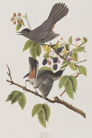 Illustration from 'Birds of America', 1827-38