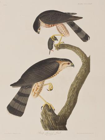Illustration from 'Birds of America', 1827-38