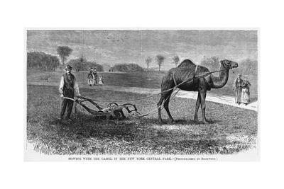 Mowing with the Camel in the New York Central Park. (Photo).