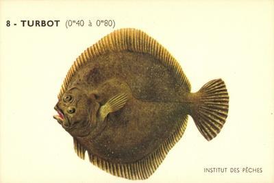 Künstler Fische, Institut Des Peches, Turbot, Flunder