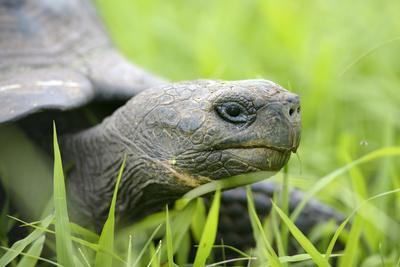 Ecuador, Galapagos, Santa Cruz Island. Galapagos Giant Tortoise