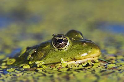 Edible Frog in the Danube Delta in Duckweed, Romania, Danube Delta