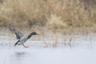 Mallard Male Landing in Wetland in Winter, Marion, Illinois, Usa