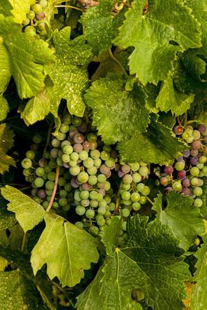USA, Washington, Okanogan Valley, Omak. Pinot Grapes in Vineyard
