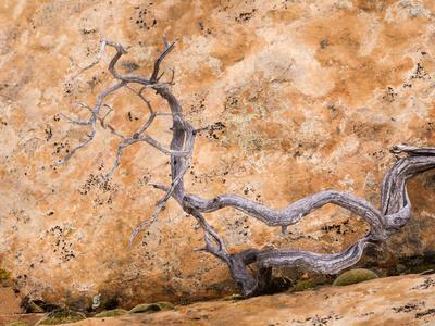 USA, Utah, Dixie Nf. Twisted Dead Branch and Sandstone Rock Wall