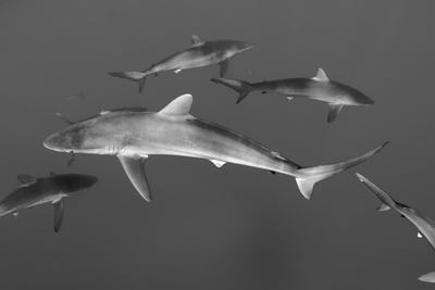 Silky Shark, Jardines De La Reina National Park, Cuba