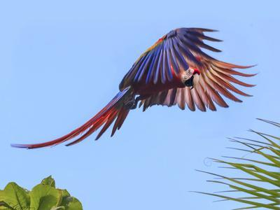 Scarlet Macaw in Flight. Costa Rica. Central America