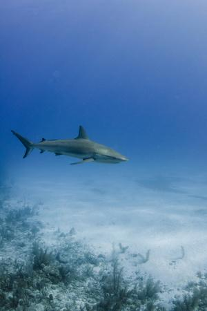 Caribbean Reef Shark, Jardines De La Reina National Park, Cuba