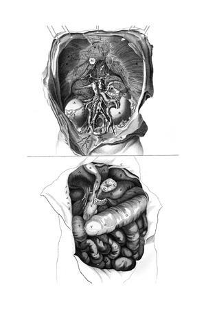 Anatomy, Kidneys 18th C