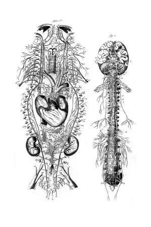 Nervous System 18th C