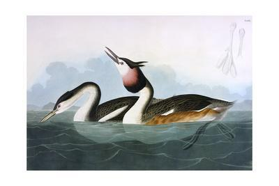 Crested Grebe