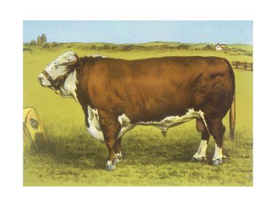 Cattle, Hereford Bull