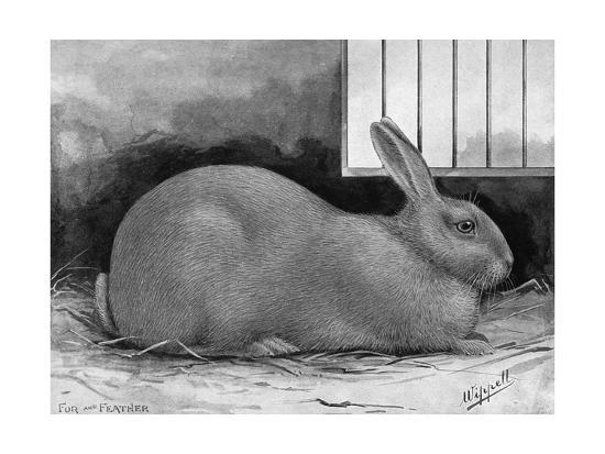 Blue Beveren Rabbit