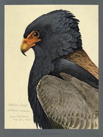 Abyssinian Bateleur Eagle