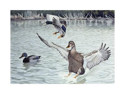 Decoyed Ducks