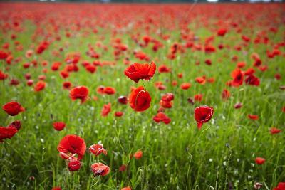 Poppy Field, Newark, Nottinghamshire, England, United Kingdom, Europe