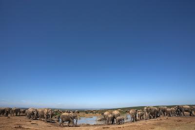 Elephants (Loxodonta Africana) at Water, Addo Elephant National Park, South Africa, Africa