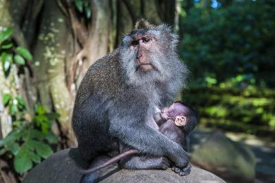 Crab-Eating Macaque (Macaca Fascicularis) Mother with Baby, Monkey Forest, Ubud, Bali, Indonesia