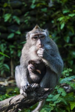 Crab-Eating Macaque (Macaca Fascicularis), Monkey Forest, Ubud, Bali, Indonesia