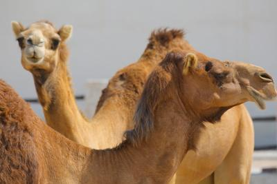 Camels in Camel Souq, Waqif Souq, Doha, Qatar, Middle East