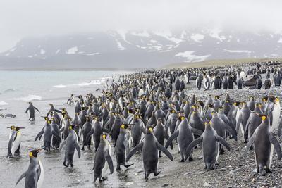 King Penguins (Aptenodytes Patagonicus) at Breeding and Nesting Colony at Salisbury Plain