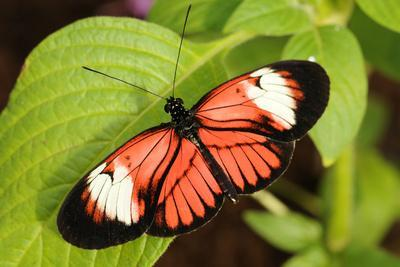 A Heliconius Butterfly Perched on a Leaf with its Wings Open