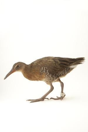 A Light-Footed Clapper Rail, Rallus Longirostris Levipes