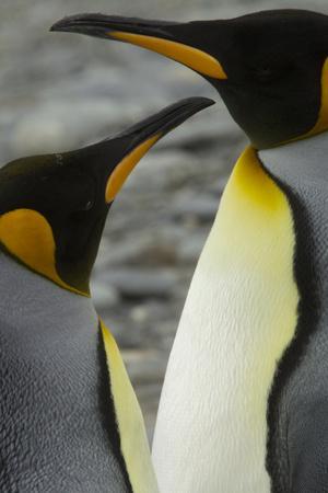 Portrait of Two King Penguins, Aptenodytes Patagonicus