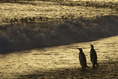 King Penguins, Aptenodytes Patagonicus, on the Beach and in the Surf