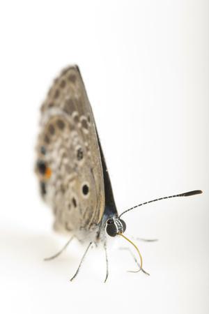 A Rare Miami Blue Butterfly, Cyclargus Thomasi Bethunebakeri