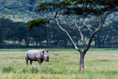 A Solitary White Rhinocerous Grazing on the Short Grasses of the Savannah Plain