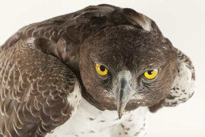 A Martial Eagle, Polemaetus Bellicosus, at Tampa's Lowry Park Zoo