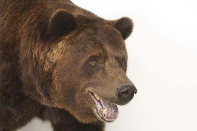A Federally Threatened Grizzly Bear, Ursus Arctos Horribilis