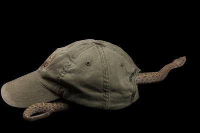 A New Mexico Ridge Nosed Rattlesnake, Crotalus Willardi Obscurus, Crawls Through a Cap