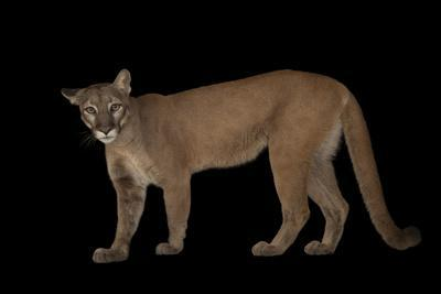 A Federally Endangered Florida Panther, Puma Concolor Coryi, at Tampa's Lowry Park Zoo