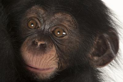 A Three-Month-Old Baby Chimpanzee, Pan Troglodytes, at Tampa's Lowry Park Zoo