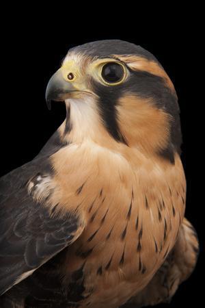 An Aplomado Falcon, Falco Femoralis, at the Milford Nature Center